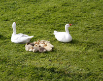 Goose and Gosling Royalty Free Stock Image