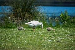 Goose_Gosling_1 Foto de Stock Royalty Free