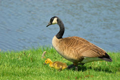Goose with gosling Royalty Free Stock Photography