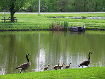 Goose and Gosling Family. This image was taken at Schramm Park Stock Images