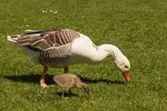 Goose and gosling grazing Stock Photos