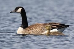 Goose and Gosling Swimming Together