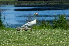 Goose_Gosling_2 Stock Photos