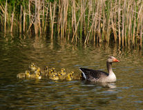Goose with goslings. Family of a swimming mother Greylag goose (Anser anser) with a lot of baby geese swimming after her Stock Images