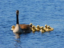 Goose with Goslings Stock Photo