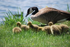 Goose And Goslings. A goose and her goslings graze in the grass Stock Photos