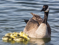 Goose and Goslings Royalty Free Stock Photography
