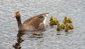 Goose and goslings Royalty Free Stock Images