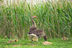 Goose and Goslings in the Grass. Goose fits your chick on Stock Photo