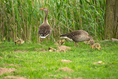 Goose and Goslings in the Grass. Goose fits your chick on Stock Photography