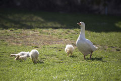 Goose and goslings on grass Stock Photography
