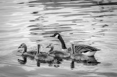 Goose & Goslings Royalty Free Stock Images