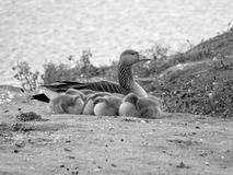 Goose and goslings near a river stock image