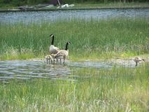 Goose and goslings on shore Stock Photo