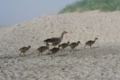 Goose and goslings walk on beach Stock Images
