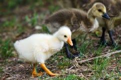 Goose goslings Royalty Free Stock Photos