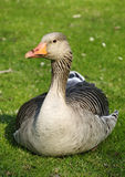 Goose on the grass Stock Photo