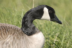 Goose in the Grass. A Canada Goose rests in the grass with the remains of its last meal on its beak Royalty Free Stock Image