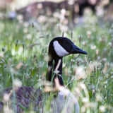 Goose in Grass Royalty Free Stock Image