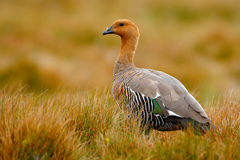 Goose in the grass, Chloephaga hybrida, Kelp goose, is a member of the duck, goose. It can be found in the Southern part of South Royalty Free Stock Image