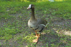 Goose on grass Stock Images