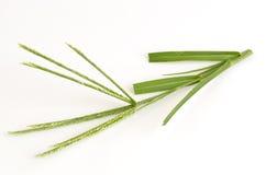 Goose grass, Fore foot grass, Wire grass, Yard grass (Eleusine indica (L.) Gaertn). Stock Photos