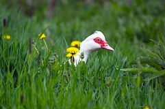 Goose in the grass. In the meadow Stock Photo