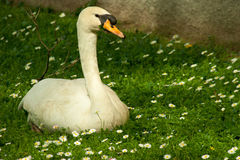Goose on grass in the park Royalty Free Stock Image
