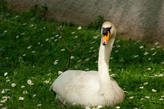 Goose on grass in the park Stock Photos