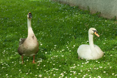 Goose on grass in the park Stock Image