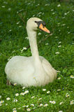 Goose on grass in the park Royalty Free Stock Photos