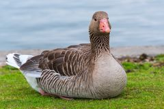 Goose on the grass by the pond