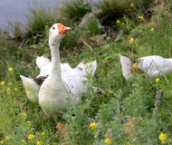 Goose in grass Royalty Free Stock Photo