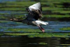 goose graylag obrazy royalty free
