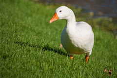 Goose grazing on meadow Royalty Free Stock Photos