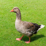 Goose on green field Stock Photo
