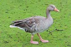 Goose on a green grass Royalty Free Stock Images