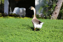 Goose on the green grass Stock Images