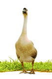 Goose on gress. Isolated white background Royalty Free Stock Image