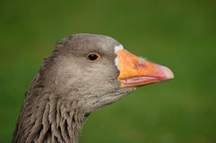Goose greylag Stock Photos