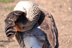 Goose grooming itself Royalty Free Stock Images