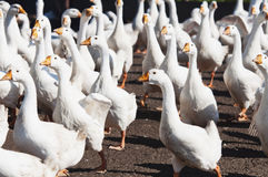 Goose. Group of white goose under the sun Stock Photo