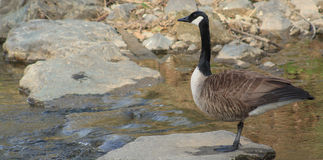 Goose on guard Stock Image