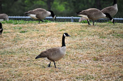 Goose on guard Royalty Free Stock Photography