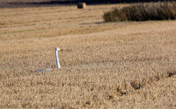 Goose in a harvested field. Goose wandering freely through a harvested field. Straw roll on background Stock Photography