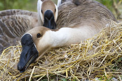Goose hatch eggs in goose`s nest Stock Photography