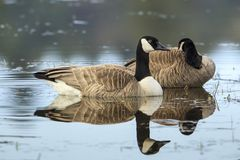 Goose in Hauser Lake, Idaho. Royalty Free Stock Photo