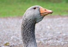 Goose head Royalty Free Stock Photos