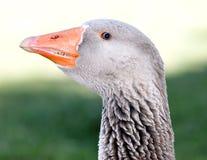 Goose head Stock Photography