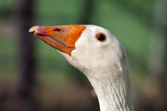 Goose head Royalty Free Stock Image